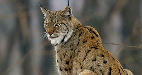 Eurasian lynx. Photo: Wikimedia Commons